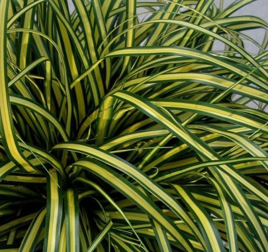 Variegated Japanese Sedge | Carex oshimensis 'Everoro'