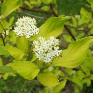 Golden Dogwood | Cornus alba 'Aurea'