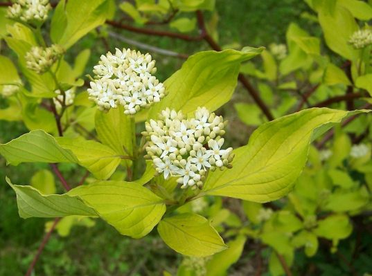 Golden Dogwood | Cornus alba 'Aurea'