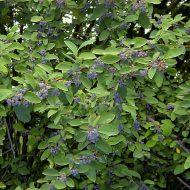 Peking Cotoneaster | Cotoneaster acutifolius