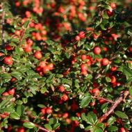 Bearberry cotoneaster | Cotoneaster dammeri 'Coral Beauty'