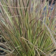 Variegated Tufted Hair Grass | Deschampsia cespitosa 'Northern Lights'