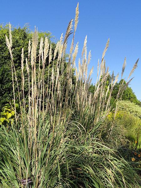 Hardy Pampas Grass | Ravenna Grass | Saccharum ravennae