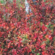 Purpleleaf Wintercreeper | Euonymus fortunei 'Coloratus'