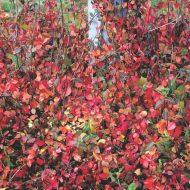 Purpleleaf Wintercreeper | Euonymus fortunei 'Coloratus'