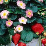 Pink Flowered Strawberry | Fragaria x 'AC Rosalyne'