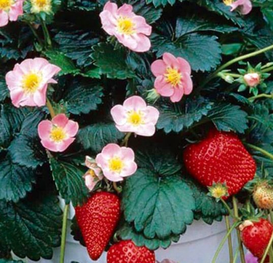 Pink Flowered Strawberry | Fragaria x 'AC Rosalyne'