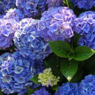 Hydrangea macrophylla - hydrangea in bloom