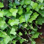 English Ivy | Common Ivy | European Ivy | Hedera Helix
