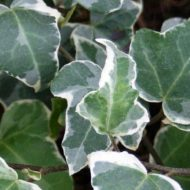 variegated hardy ivy - slow growing ivy