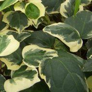 Algerian Ivy | Hedera algeriensis 'Gloire de Marengo'