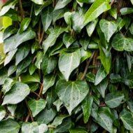 Hardy Climbing Ivy | Hedera pastuchovii