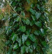Hedera pastuchovii vine 183x190 - Hedera pastuchovii