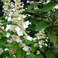 Panicle Hydrangea | Hydrangea paniculata 'Brussel's Lace'