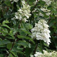 Hardy Hydrangea | Hydrangea paniculata 'Kyushu'