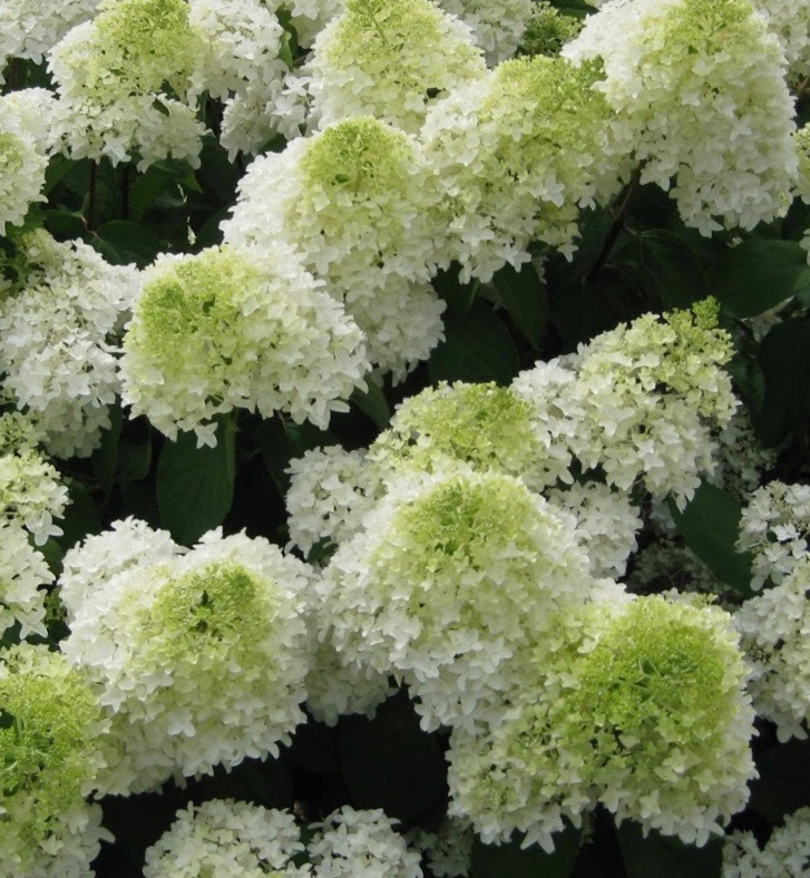 panicle hydrangea for sale hydrangea paniculata 39 phantom 39 canada. Black Bedroom Furniture Sets. Home Design Ideas