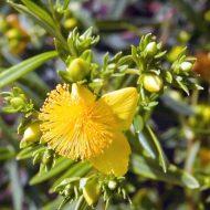 st johns wort plant - hypericum kalmianum 'Gemo'