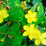 St John's Wort | Hypericum x inodorum 'Excellent Flair'