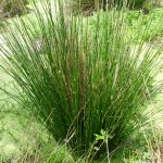 Soft Rush FOR SALE | Common Rush | Juncus effusus
