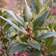 Bay Laurel Plant FOR SALE | Bay Leaf Tree | Laurus nobilis