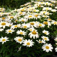 Order Perennials Online - Shasta Daisy