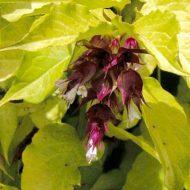 Golden Himalayan Honeysuckle | Leycesteria formosa 'Notbruce'
