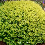 Variegated Golden Privet | Ligustrum ovalifolium 'Aureum'