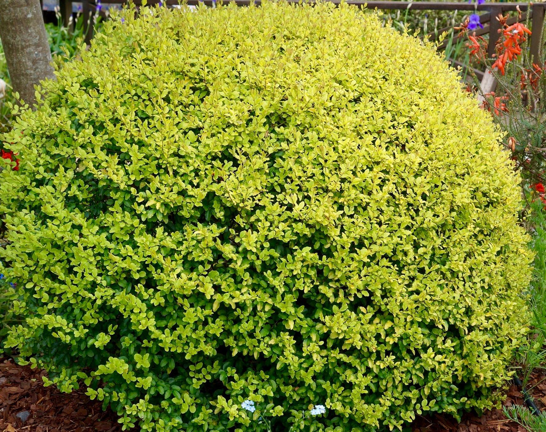 variegated golden privet ligustrum ovalifolium 39 aureum 39 canada. Black Bedroom Furniture Sets. Home Design Ideas