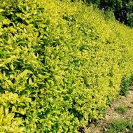 golden variegated privet plant