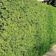 Common Privet Hedge FOR SALE | Ligustrum vulgare