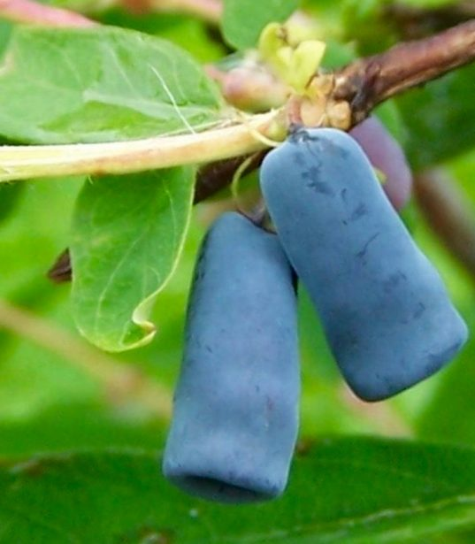 Berry Blue Honeyberry Plants | Lonicera caerulea 'Berry Blue'
