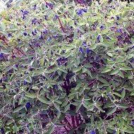 haskap bush plant - lonicera caerulea 'Berry Blue'