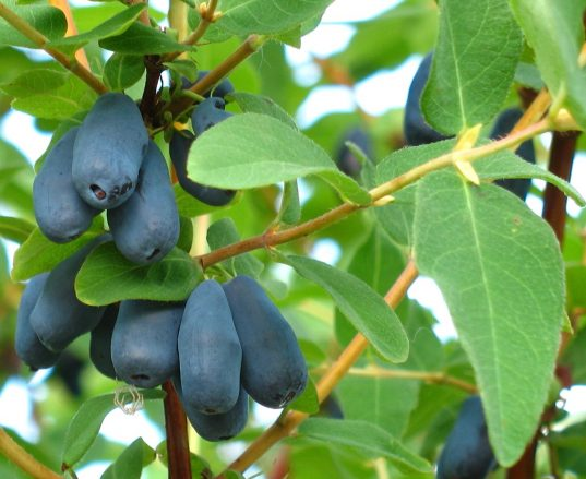 Honeyberry Plants FOR SALE | Lonicera caerulea 'Borealis'