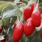 Buy Goji Berry Plant | Lycium barbarum 'Dynamite'