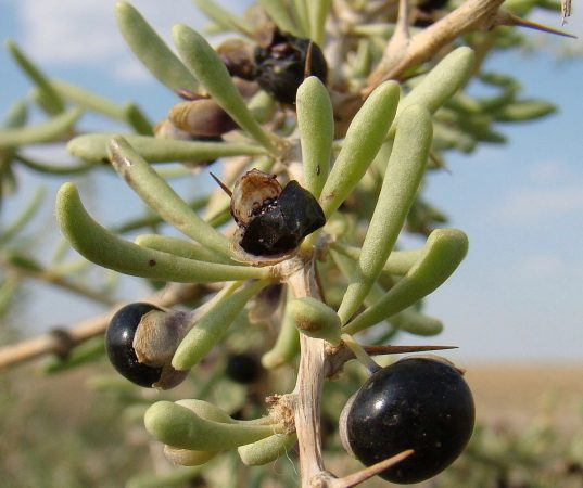 Black Goji Berry Plants FOR SALE | Lycium ruthenicum