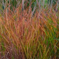 BUY FLAME GRASS | Miscanthus sinensis 'Purpurascens'