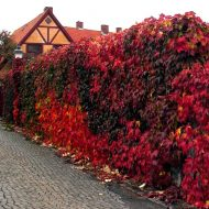englemann ivy plant - red fall color