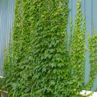 Engelmann's Ivy | Parthenocissus quinquefolia 'Engelmannii' | Parthenocissus quinquefolia 'Engelmannii'