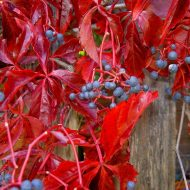 Virginia Creeper FOR SALE | Parthenocissus quinquefolia 'Murorum'