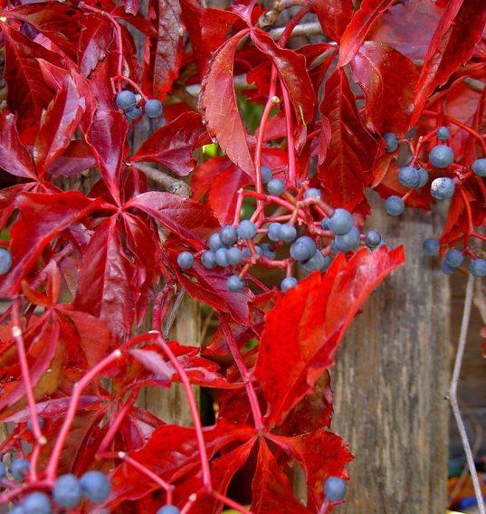 Virginia Creeper FOR SALE | Parthenocissus quinquefolia 'Murorum'