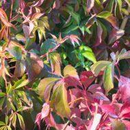 pink virginia creeper - parthenocissus murorum