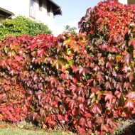 Troki Virginia Creeper | Parthenocissus quinquefolia 'Troki'