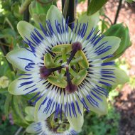 Blue Passionflower | Passiflora caerulea 'Clear Sky'