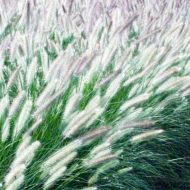 Foxrot Giant Fountain Grass | Pennisetum alopecuroïdes Foxtrot'