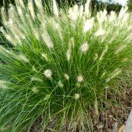 Hameln Dwarf Fountain Grass | Pennisetum alopecuroides 'Hameln'
