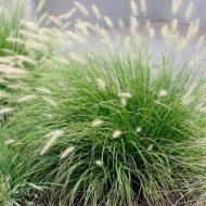 Buy Fountain Grass | Pennisetum alopecuroides 'Little Bunny'