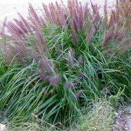 Black Fountain Grass | Pennisetum alopecuroides 'Moudry'