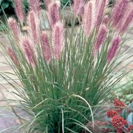 Red Head Fountain Grass | Pennisetum alopecuroides 'Red Head'