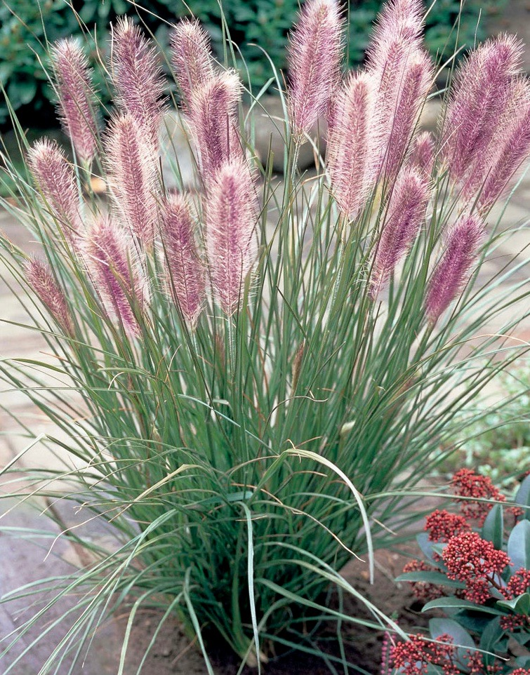 Red Head Fountain Grass Pennisetum Alopecuroides Red Head