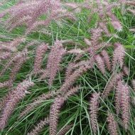 Karley Rose Fountain Grass | Pennisetum orientale 'Karley Rose'